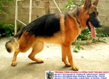 Mua bán chó Becgie Đức thuần chủng, sức khỏe tốt