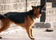 Hướng dẫn cách huấn luyện chó sủa theo yêu cầu